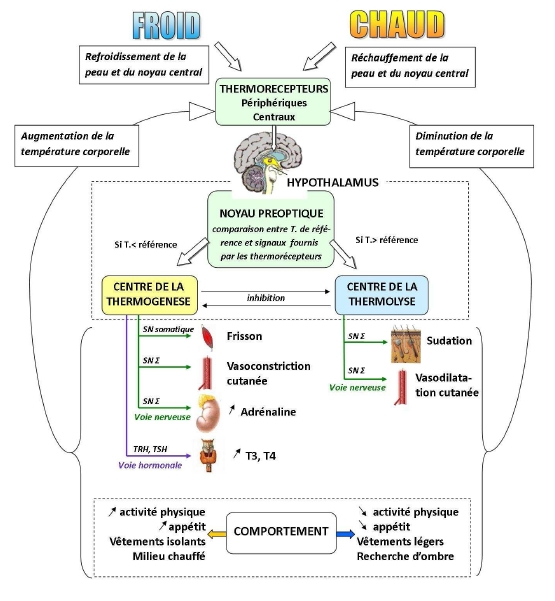 représentation de la thermorégulation et des réponses provoquées