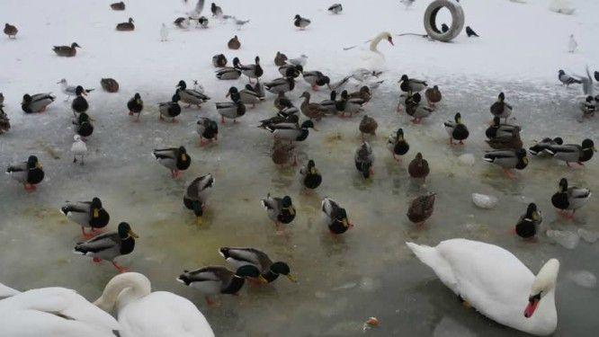 Ptice nikako ne hranite hlebom: Važno upozorenje za sve koji se šetaju pored ledenih reka