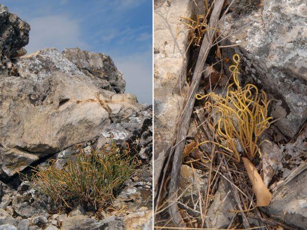 На обронцима Старе планине откривена нова врста биљке