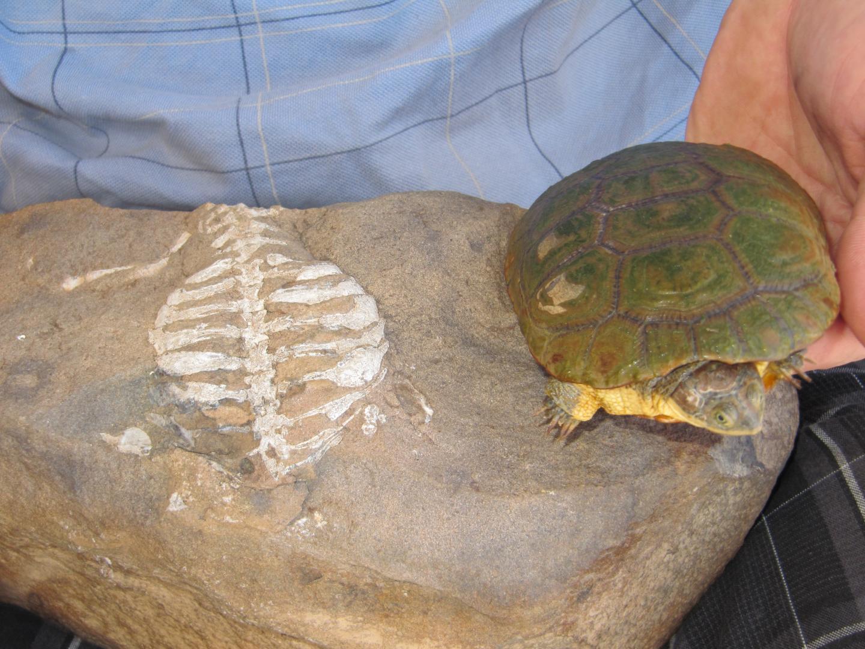 Пронађен фосил пракорњаче без оклопа