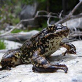 Mountain Yellow-Legged Frog (<i>Rana muscosa</i>)
