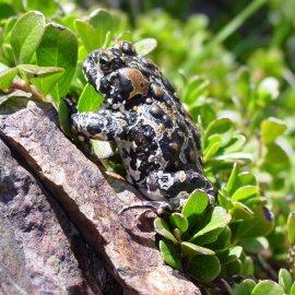Yosemite Toad (<i>Anaxyrus canorus</i>)