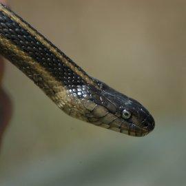 Giant Garter Snake (<i>Thamnophis gigas</i>)