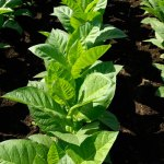 Indústria do tabaco no Brasil