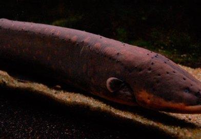 Os peixes elétricos da Amazônia