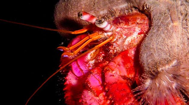 Paguro. O mundo dos crustáceos