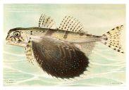 Dactylopterus volitans Baldwin