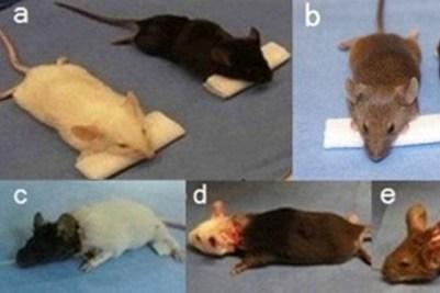Ratos com cabeças transplantadas: movimentação gradual dos membros.