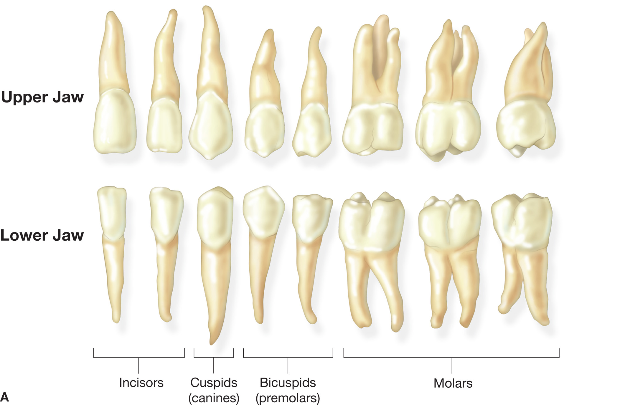 A The Name And Shape Of The Adult Teeth These Teeth