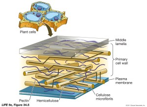 Plant Cell Wall Structure  Biology Forums Gallery