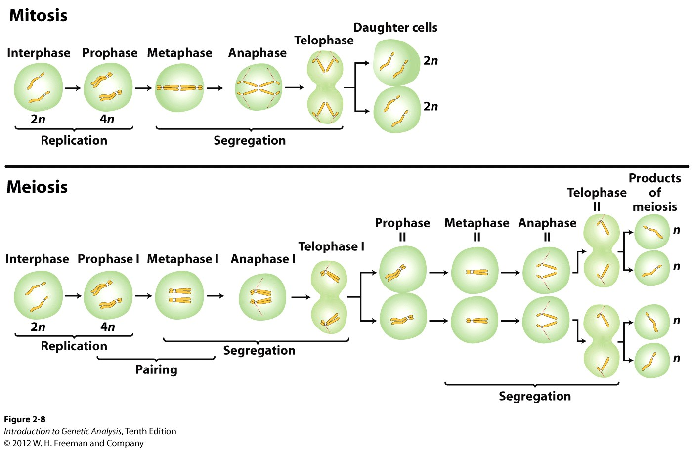 Key Stages Of Meiosis And Mitosis