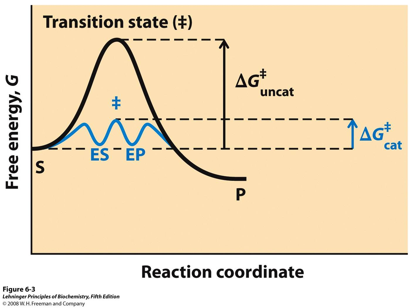 Reaction Coordinate Diagram Comparing Enzyme Catalyzed And