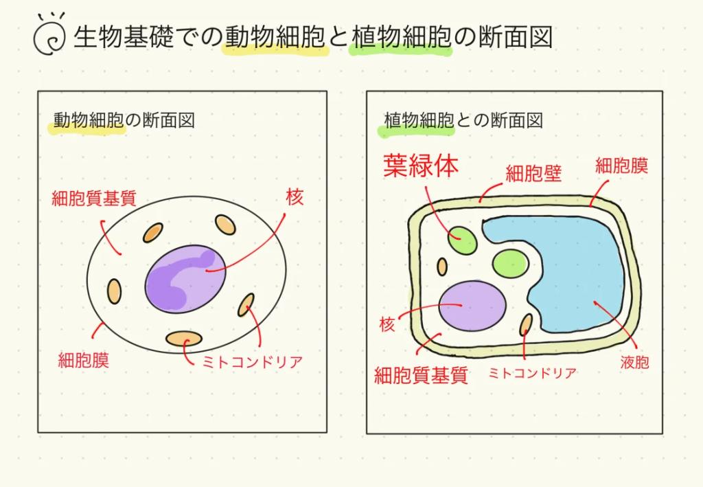 生物基礎での動物細胞と植物細胞の断面図