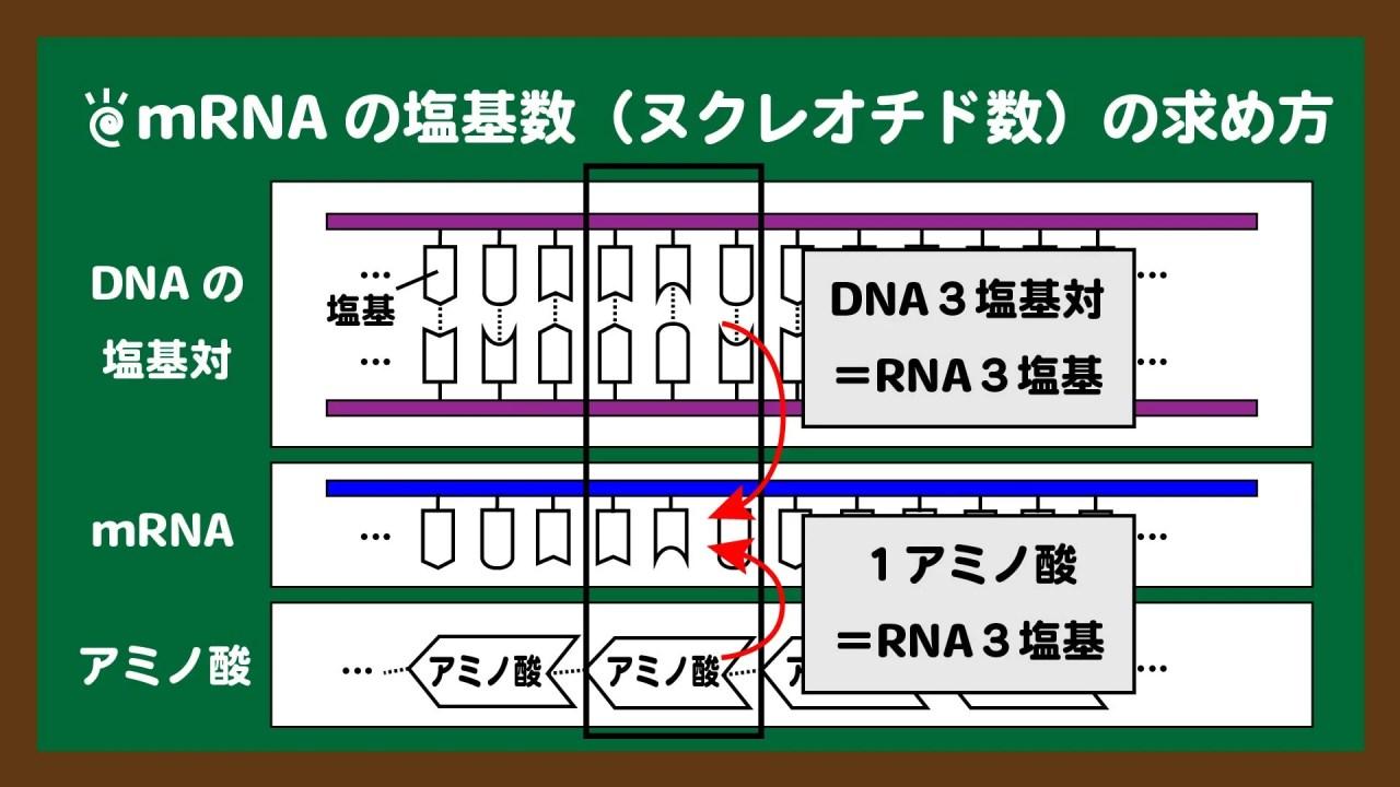 スライド15:mRNAの塩基数は、DNAの塩基対数またはアミノ酸個数からわかる