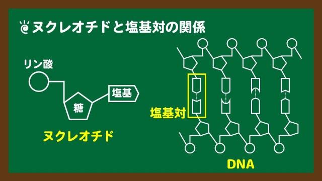 スライド5:ヌクレオチドと塩基対の関係