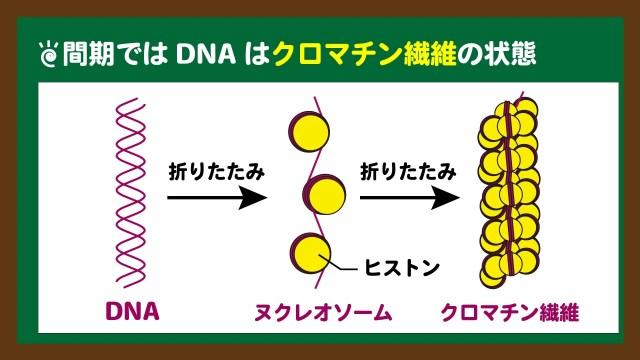 スライド3:DNAは間期ではクロマチン繊維の状態