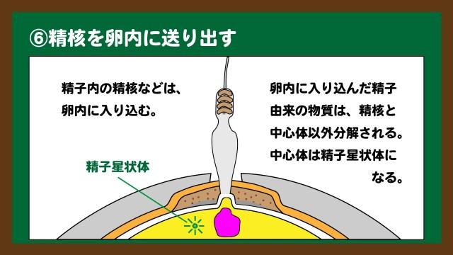 スライド9:精核と中心体は卵内に残る