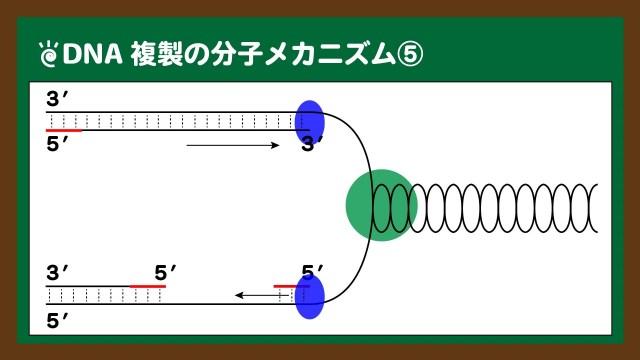 図.開裂に伴う新生鎖合成の違い