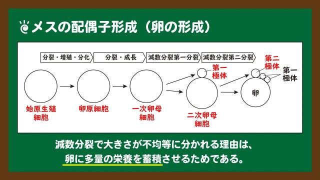 スライド3:メスの配偶子形成(卵の形成)