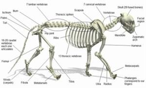 Lion Anatomy  LION
