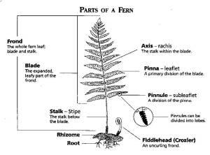 Pteridophyta  BIOLOGY4ISC