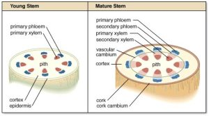 Plant tissues  BIOLOGY4ISC