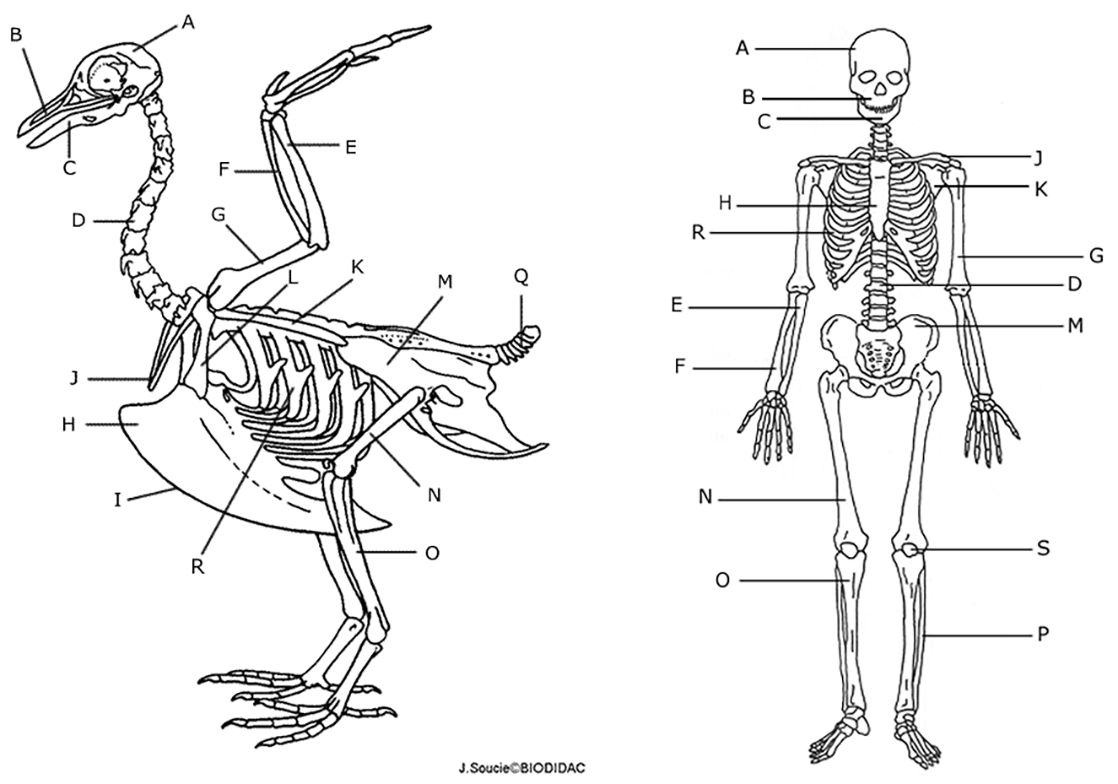 Comparing A Human And Avian Skeleton