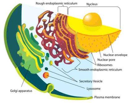 Diagrama del sistema de endomembranas
