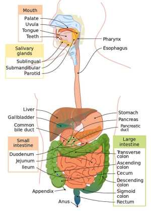 Digestive System  Definition, Function and Organs