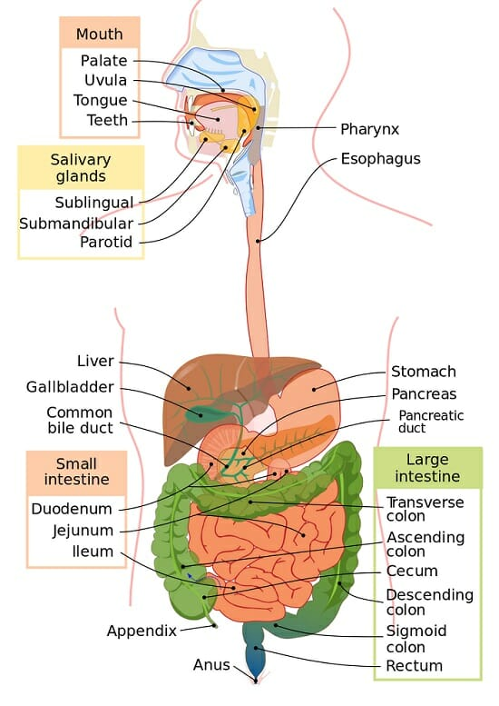 Digestive System - Function and Organs   Biology Dictionary
