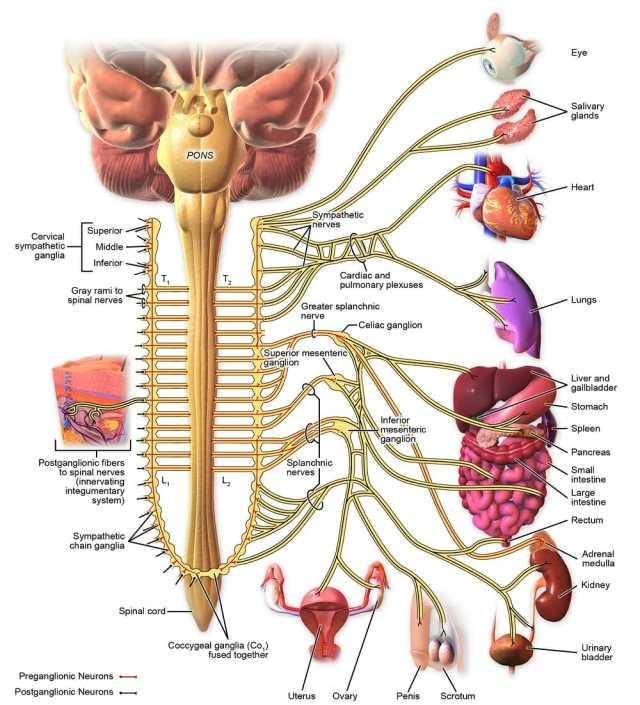 Image result for The Sympathetic Nerves