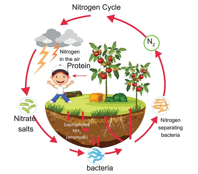 Nitrogen Cycle - Definition, Steps and Importance ...