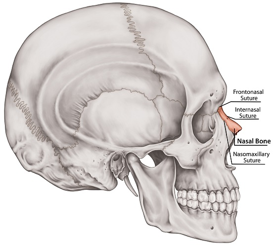Nasal Bone - The Definitive Guide   Biology Dictionary