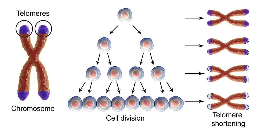 telómero división celular inmortal acortamiento de células hela