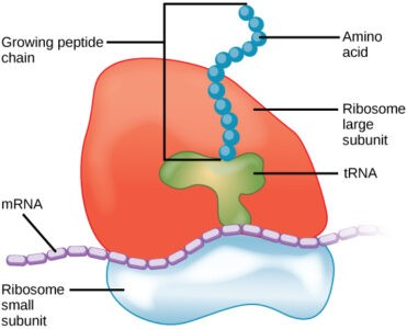 image of Peptide chain and ribosome subunits