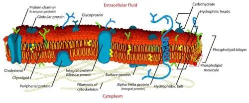 image of Plasma Membrane Detailed Diagram