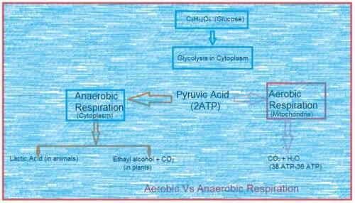image of Anaerobic Vs aerobic Respiration