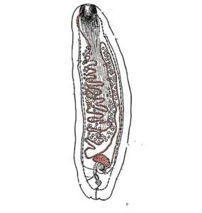 image of Amphilina foliacea