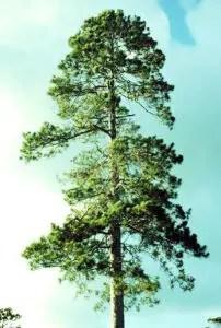 image of Pinus resinosa