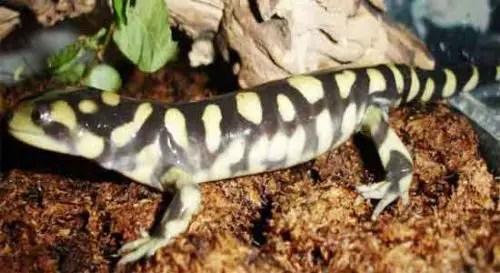 image of Ambystoma tigrinum