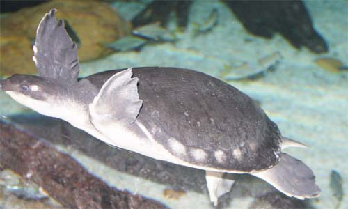 image of Carettochelys insculpta
