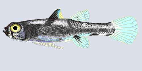 image of Dwarf-pygmy-goby