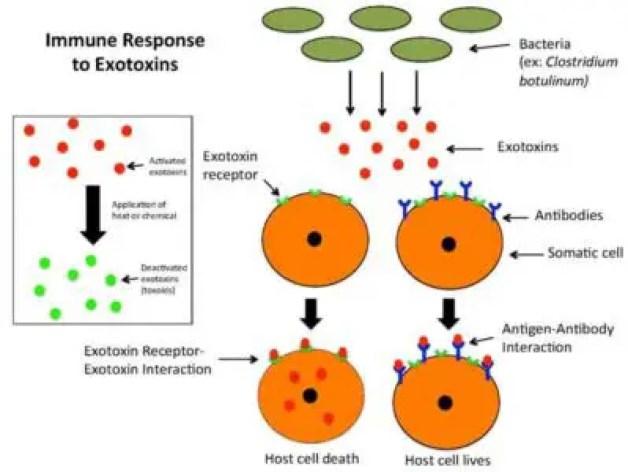 image of Exotoxin