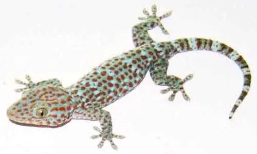 image of Gekko gecko