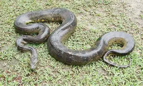 image of Green anaconda (Eunectes murinus)