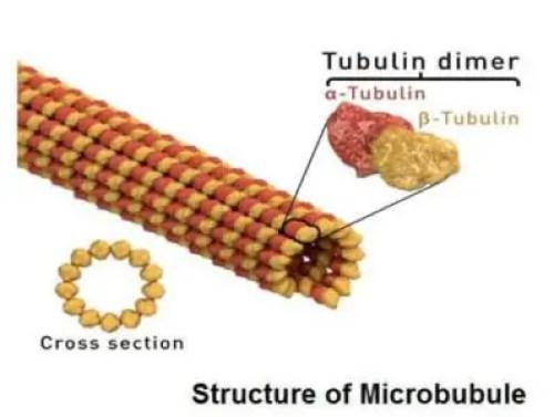 image of Microtubule
