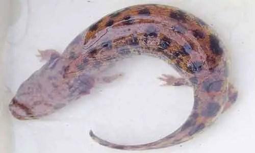 image of Necturus lewisi