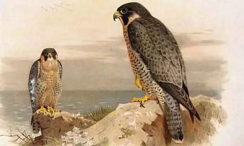 image of Peregrine falcon(Falco peregrines)