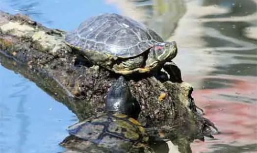 image of Pond or water turtles, Red-eared slider (Trachemys scripta elegans)