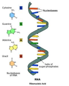image of RNA-Physical structure